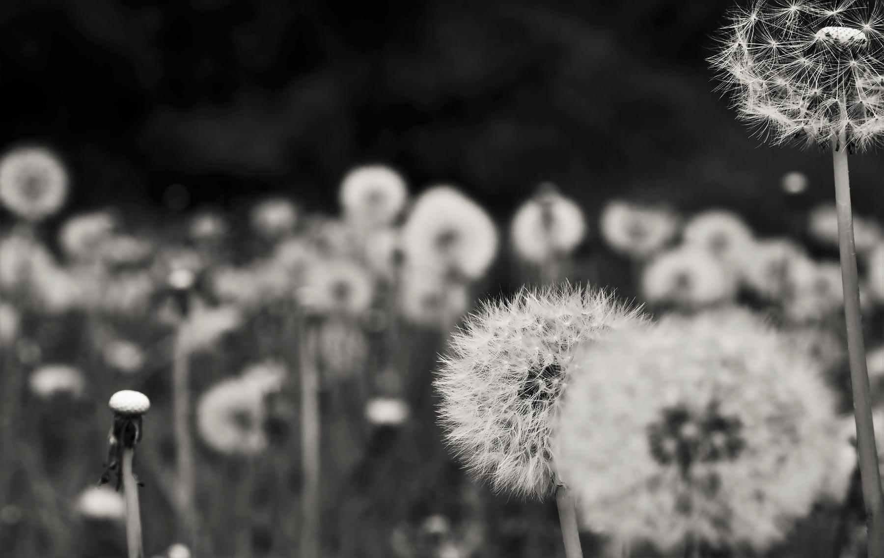 Jardin-de-pissenlits_Ignaucourt_07052019